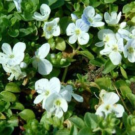 Creeping Speedwell Veronica Repens Jeepers Creepers Usa Perennial