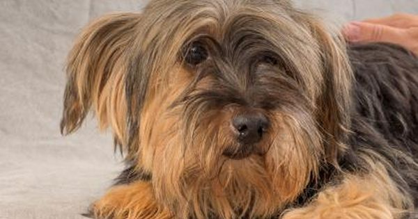 Adopt Tabit A Lovely 8 Years 2 Months Dog Available For Adoption At Petango Com Tabit Is A Terrier Yor Dogs Up For Adoption Yorkie Puppy Cute Puppy Breeds