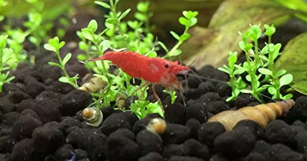 10 14 Red Cherry Sakura Shrimp Java Moss Free Air Stone On Sale Now Red Cherry Shrimp Red Cherry Shrimp Cherry Shrimp Pet Shrimp