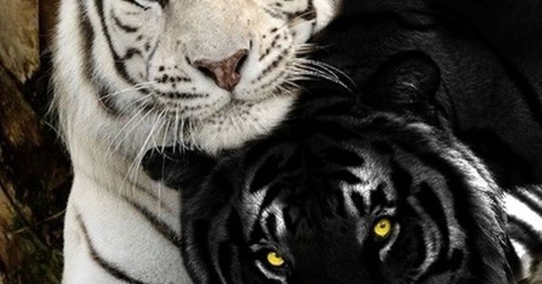 Black & white tigers - I have never seen a black tiger
