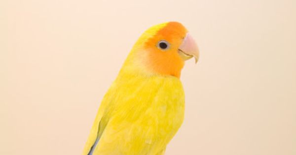 Cute yellow bird! Kinda thinking I want a pet bird so that