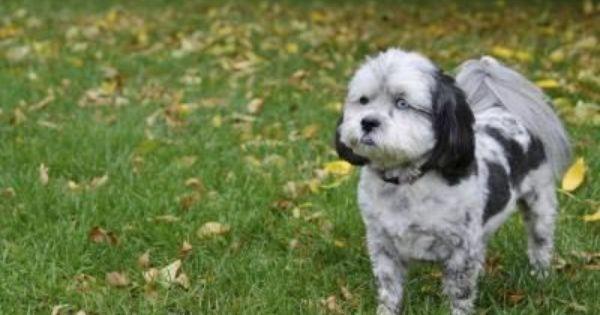 Grooming Ideas For A Shih Poo Cuteness Shih Poo Dog Personality Yorkie Poo