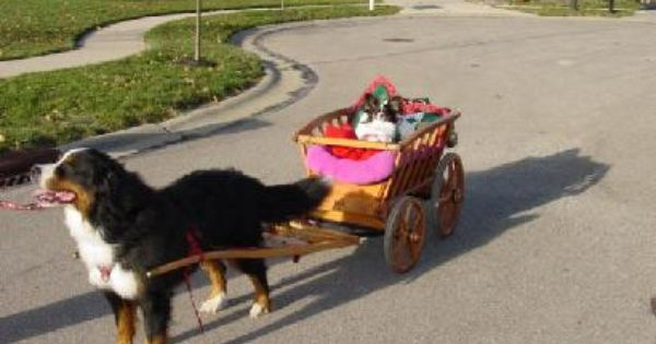Cat Pulling Wagon : A dog pulling cart dogs that can pull sleds and