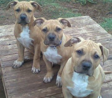 Pin By Tiffany Moiola On Pitbulls Staffy Dog Beautiful Dogs Dog Lovers