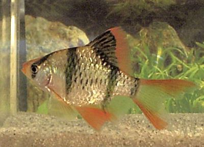 Longfin Tiger Barb Puntius Tetrazona Variety Fish Care Brine Shrimp Tropical Fish