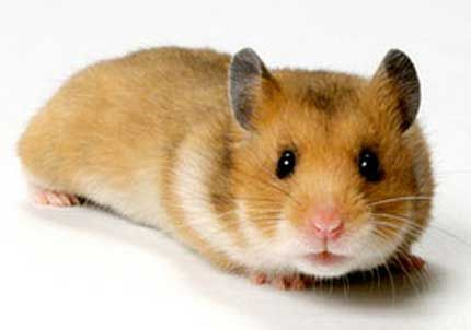 Hamsters Tubby Bug Eyed Rodents Cute Hamsters Pets Syrian