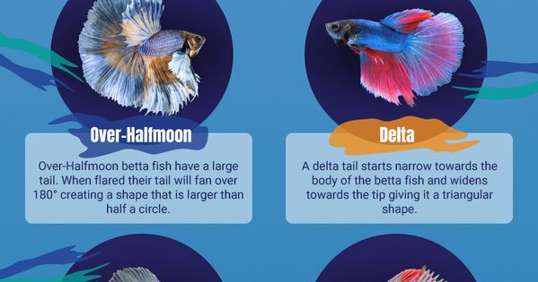 Betta fish tail types which betta fish type do you have for Betta fish life span
