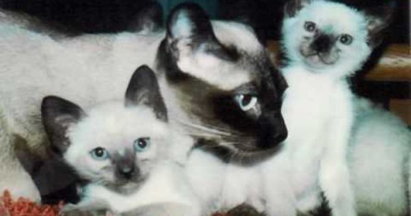 Cats 101 Siamese Colorpoint Shorthair Kitten 01 Ragdoll Cat Colors Siamese Cat Breeders Cat Breeder