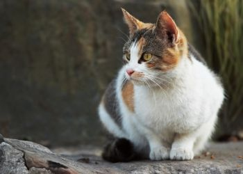 Cat Breed Guide American Wirehair American Wirehair Cat Breeds