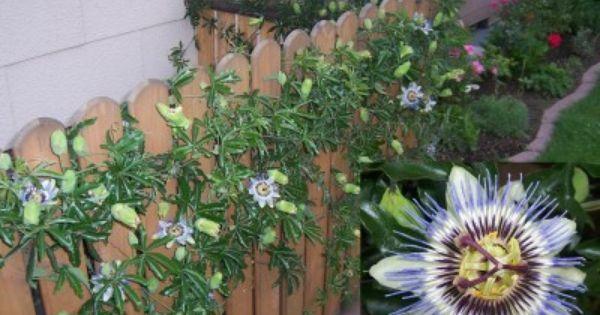 Passiflora Caerulea For Against The Fence Passion Flower Passiflora Caerulea Vine Trellis