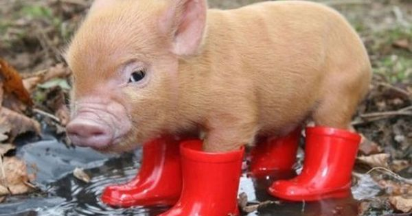 Little Pigs, Mini Pigs, Rain Boots, Red Boots, Teacup Pigs, Minis Pigs,
