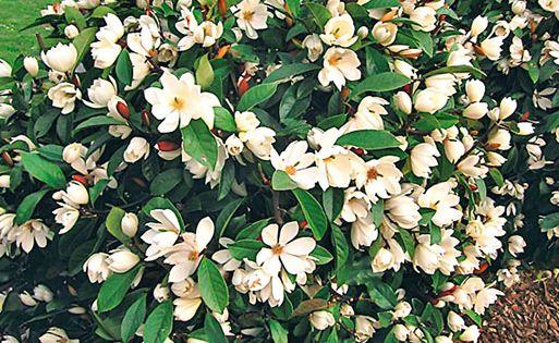 duft magnolien hecke 39 fairy 39 garten pinterest. Black Bedroom Furniture Sets. Home Design Ideas