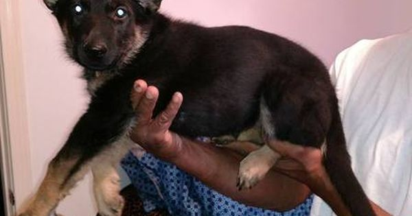 German Shepherd Dog Siberian Husky Mix Puppy For Sale In Warren