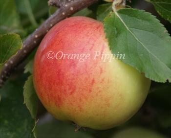 Gala Apple Trees Apple Tree Fruit Trees For Sale Fruit Trees