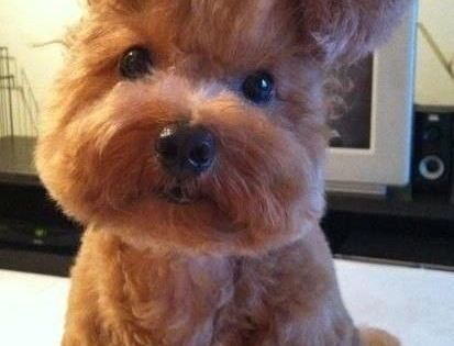Teddy B needs a hairstyle like this http://melanysguydlines.com humor blogger funny animals