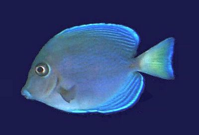 Blue Tang Surgeonfish Acanthurus Coeruleus Fish Fish Pet Tropical Fish