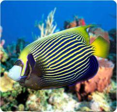 Emperor Angelfish Imperator Angelfish Pomacanthus Imperator Angel Fish Coral Life Lion Fish