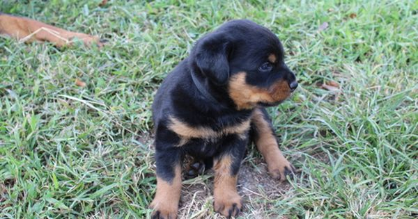 Litter Of 3 Rottweiler Puppies For Sale In Primm Springs Tn Adn