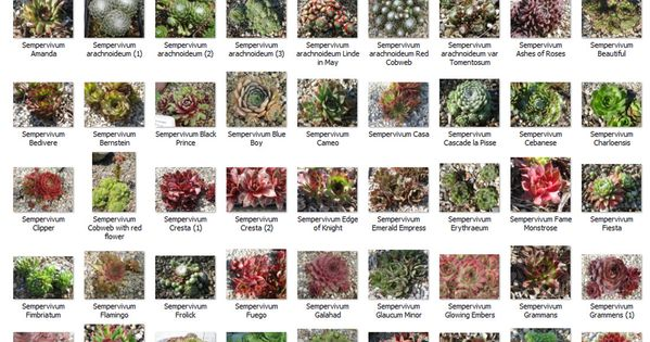 Succulent identification chart