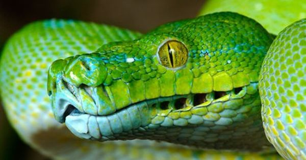 How To Tell If A Snake Is Venomous Reptifiles Snake Reptile Snakes Beautiful Snakes