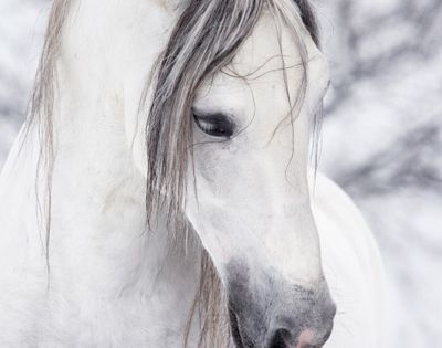 Horse, hest, Winter, snow, white, a shade of grey, animal, beautiful, gorgeous,