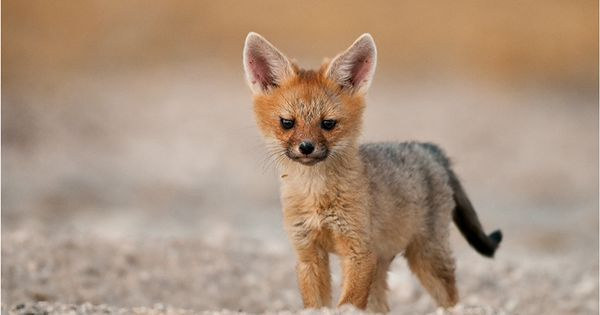 animals, foxes, cape fox cub, photo by Valerie Blanca