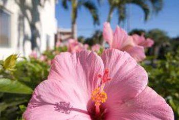 Are Banana Peels Good For Hibiscus Soil Hibiscus Tree Hibiscus