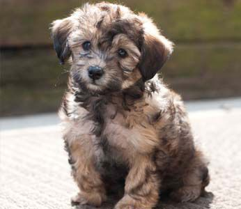 Schnauzer Poodle Puppies For