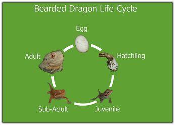 Life Cycle Bearded Dragon Funny Bearded Dragon Baby Bearded Dragon