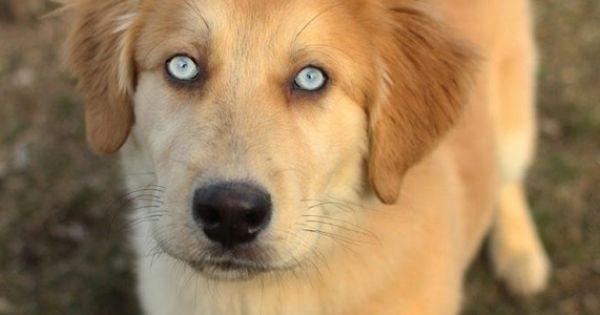 Goberian Mix Between A Siberian Husky And Golden Retriever Golden Retriever Blue Eyed Dog Golden Retriever Husky Mix Full Grown