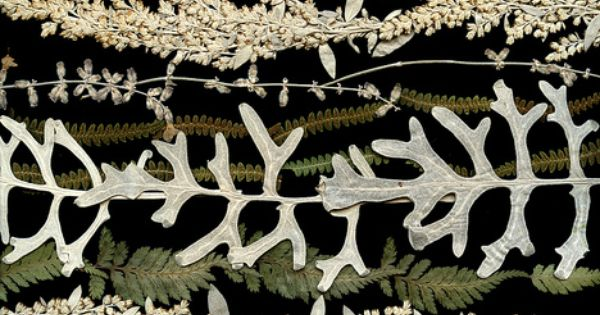 55141.1 silver leaves and ferns by horticultural art, via Flickr