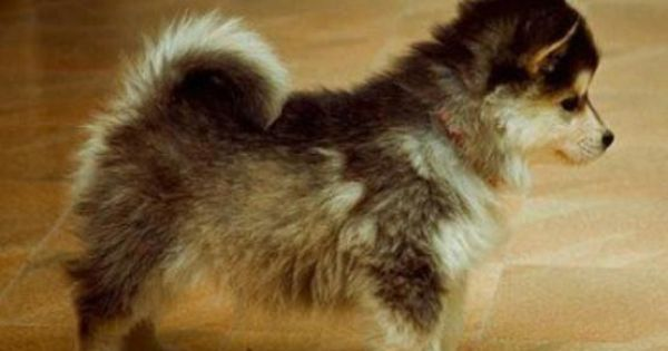 "This is a ""pomsky""--a full grown Pomeranian and a husky mix. Omg,"