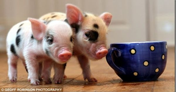 BABY PIGS | Two Baby Teacup Piglets | Baby Animalz