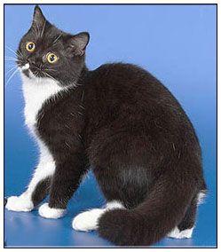 British Shorthair Lilac Google Search British Shorthair Cats