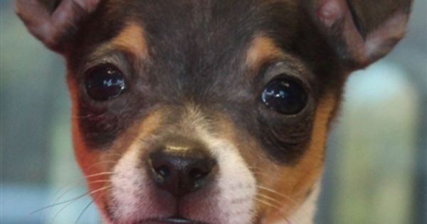 Toy Fox Terrier Puppy For Sale In South Florida Toy Fox Terrier