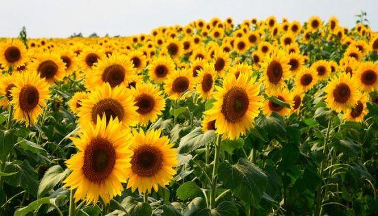 Bunga Matahari Mekar Sempurna Kebun Bunga Bunga Matahari Bunga