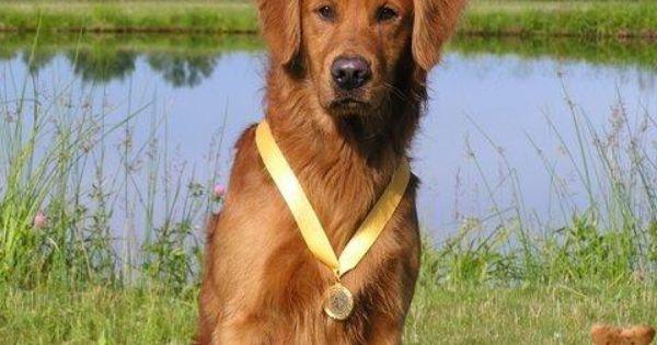 Golden Retriever Golden Retriever Animal Pictures Puppies For Sale