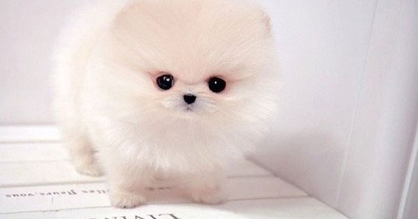 I Want I Want I Wannnnntttttt Cute Baby Puppies Pomeranian Puppy Teacup Cute Baby Animals