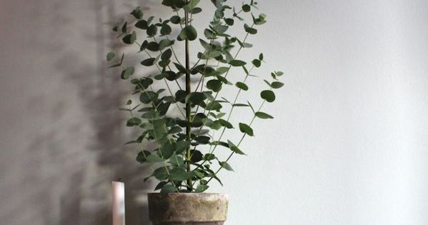 Can Eucalyptus Be Grown Indoors Potted Eucalyptus Trees