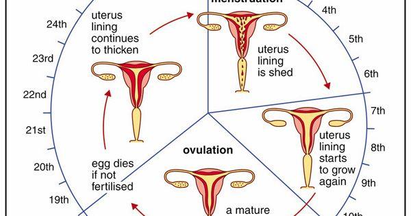 menstrual cycle worksheets - Google Search : 4th Quarter Nursing : Pinterest : Menstrual cycle