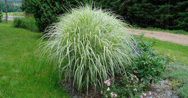 Miscanthus variegatus miscanthus sinensis variegatus in for Best tall grasses for privacy