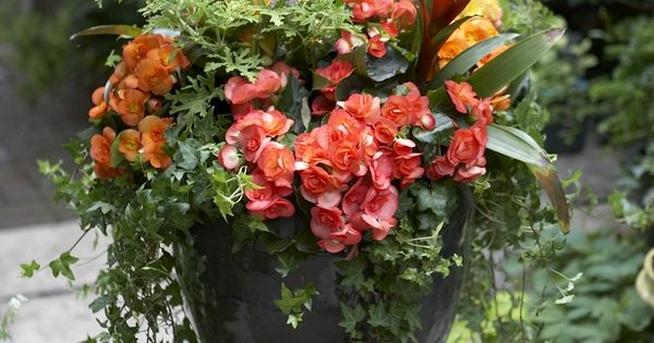 summery urn with bright bromeliads begonias and scented geraniums container gardening. Black Bedroom Furniture Sets. Home Design Ideas
