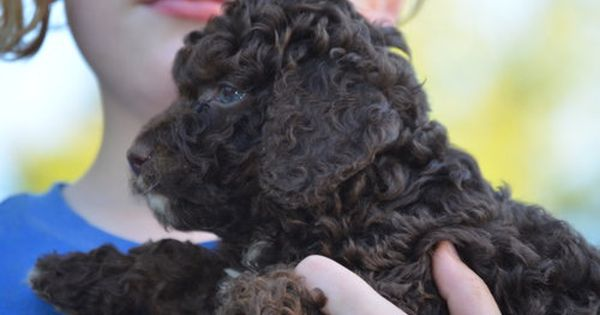 Chocolate Cockapoo Cockapoo Poodles Poodlelife Cockerspaniel Cocker Spaniels Spanielpuppy P Cockapoo Puppies For Sale Cockapoo Puppies Cocker Spaniel
