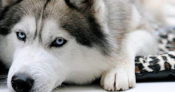 ハスキーがドッグパークではなく動物病院に向かっている事に気付いた瞬間wwwwwwwwwwwwwwwww 動物 シベリアンハスキー ハスキー