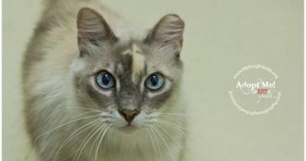 Meet Diamond A Petfinder Adoptable Siamese Cat Lago Vista Tx Diamond Is A Calico Point Siamese This Beautiful Kitty Is Look Dog Adoption Animals Dog Cat