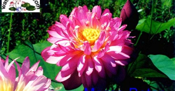 Water water lily aquatic plants water plants for Perennial pond plants