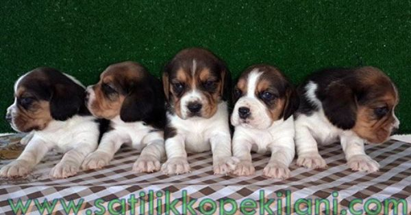 Bonnie The Beagle Cute Dogs Breeds Cute Animals Cute Dogs