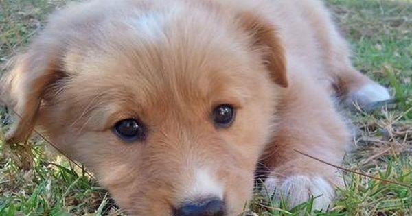 Collie Golden Retriever Mix Puppy Gracia Gomez Cortazar