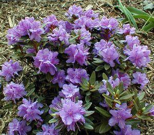 Rhododendron Purple Gem Dwarf Low Compact Mound Shape Growing