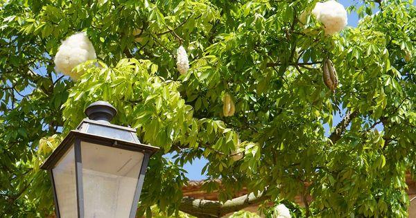 Katoenboom monreale sicili foto mieke schroduer op fb sierbomen en heesters pinterest - Pergola provencaalse ...